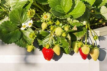 Radieschen und Erdbeeren pflanzen
