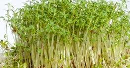 Kresse in Erde pflanzen