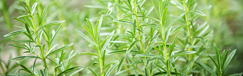 Lavendel und Rosmarin zusammen pflanzen