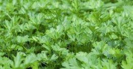 Petersilie und Schnittlauch pflanzen