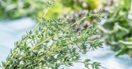 Rosmarin und Thymian pflanzen