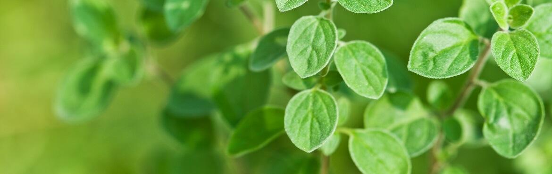 Basilikum und Oregano zusammen pflanzen
