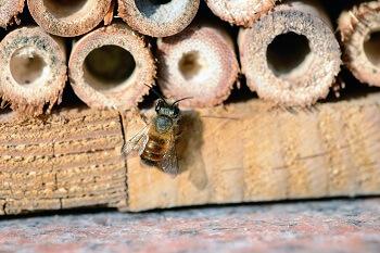 Wildbiene im Insektenhotel